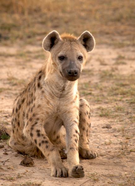 m_013-spotted-hyena.jpg
